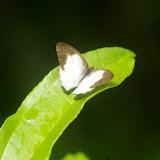 Pareuptychia ocirrhoe ocirrhoe FABRICIUS, 1776. Camp Patawa, Montagne de Kaw (Guyane), 15 novembre 2011. Photo : J.-M. Gayman