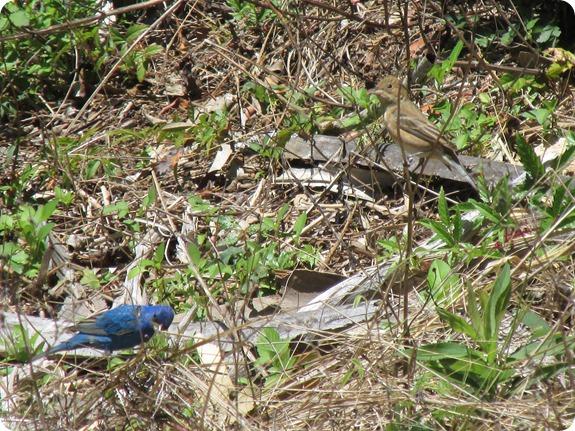 8 Indigo Bunting Bird
