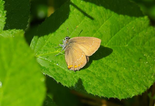 Satyrium ilicis ESPER, 1779, femelle. Les Hautes-Lisières (Rouvres, 28), 20 juin 2011. Photo : J.-M. Gayman