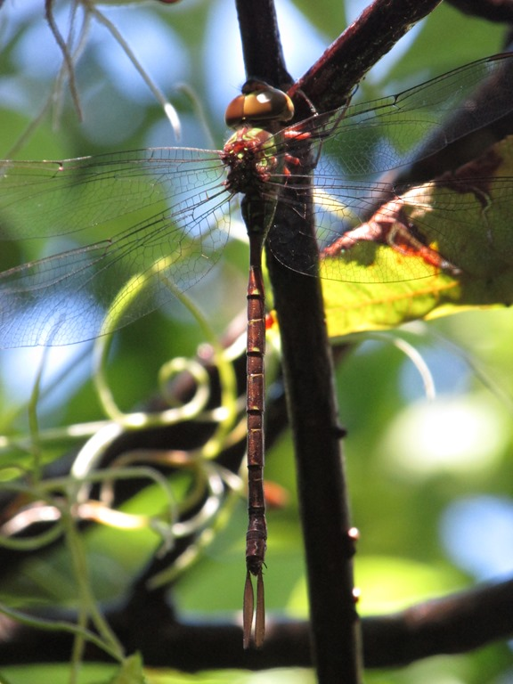 [Unknown+Dragonfly+Insect+Bug+%282%29%5B9%5D]