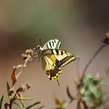 Papilio machaon (L., 1758). Bages (Pyrénées orientales), 17 août 2014. Photo : J.-M. Gayman