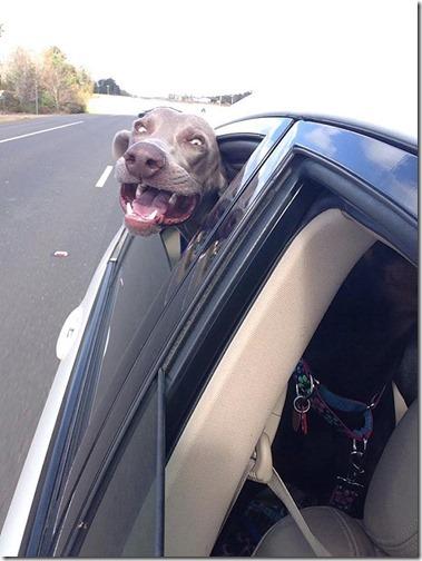 perros asomads a la ventanilla del coche (14)