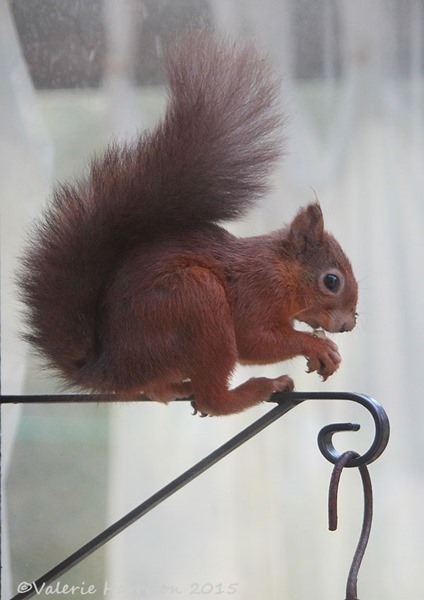 red-squirrel-1 (2)