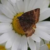 Noctuidae : Catocalinae : Euclidia glyphica (LINNAEUS, 1758). Les Hautes-Lisières (Rouvres, 28), 11 juin 2012. Photo : J.-M. Gayman