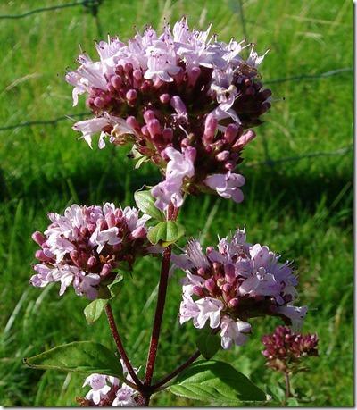 Marjoram. Photo: wildflowerfinder.org.uk