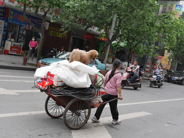 woman pulling a two-wheeled wheelbarrow with various items and a poodle on it