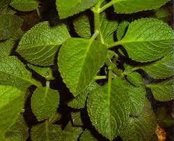 Image Result For Resep Minuman Herbal Dan Manfaatnya