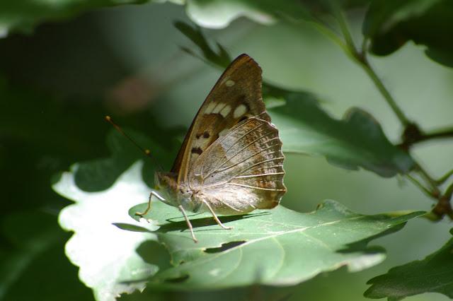Apatura ilia DENIS & SCHIFFERMÜLLER, 1775, mâle. Les Hautes-Lisières (Rouvres, 28), 27 juin 2011. Photo : J.-M. Gayman