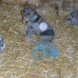 Gretta & Cobalt Blues 3/24/12 litter - SAM_3361.JPG