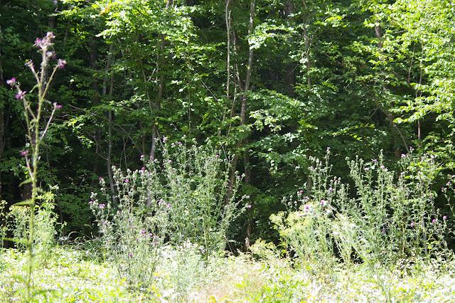 Clairière : biotope d'Apatura iris et Polygonia c-album. Cynthia cardui et Inachis io y viennent en nombre butiner les fleurs de Cirses. Les Hautes-Lisières, 12 juillet 2009. Photo : J.-M. Gayman