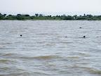 sea otters in Lake Victoria