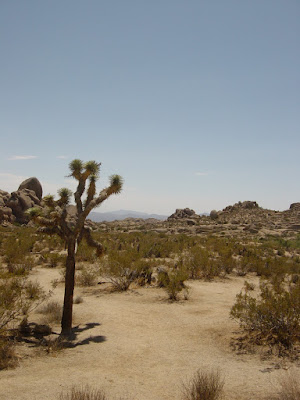 A photo of a lonely Joshua Tree. Scientists say that if current global warning patterns continue they could be extinct in 50 years. Photo taken on August 15, 2007.