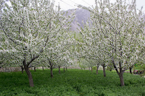 A typical view of cherry blossom in near Karimabad, Hunza
