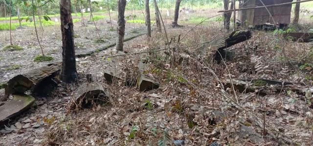 Terbenam dalam Tanah, Ratusan Kayu Ulin Dimanfaatkan Warga sebagai Tongkat dan Tiang Rumah