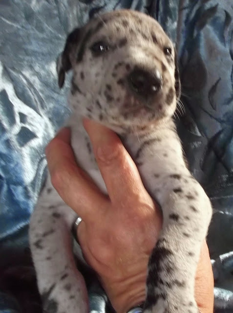 Available blue merle male #2