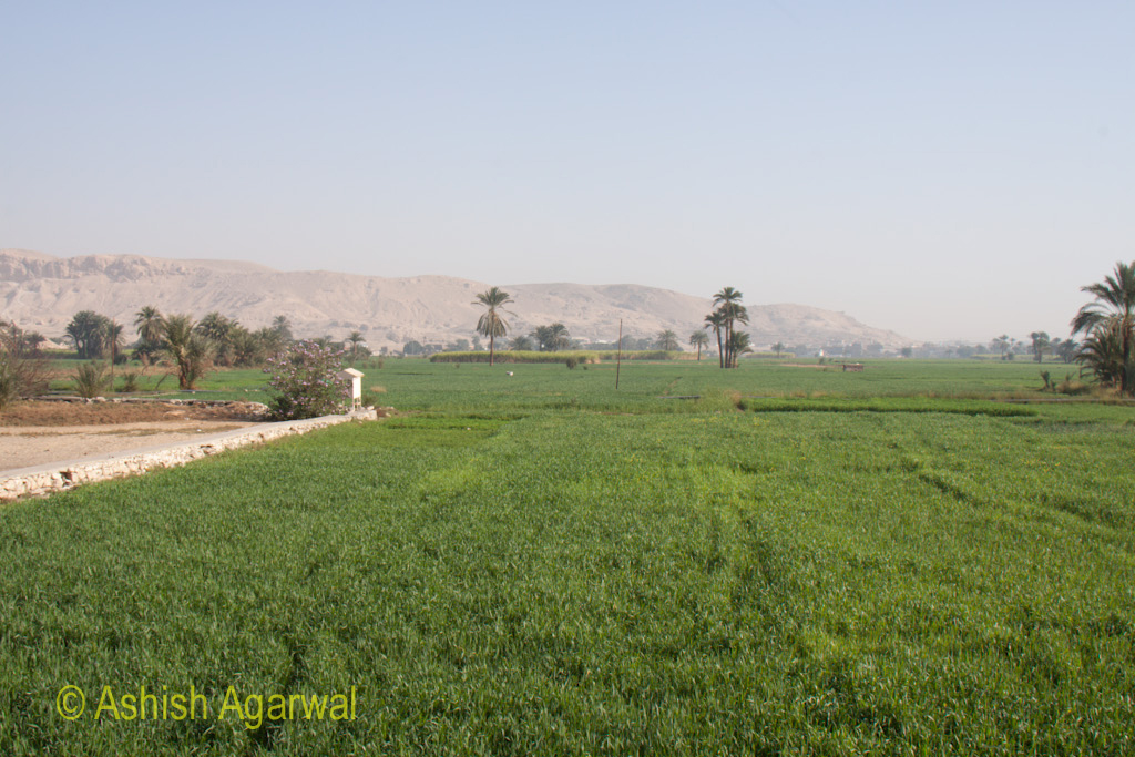 Green fields right next to the Colossi of Memnon, outside Luxor in Egypt