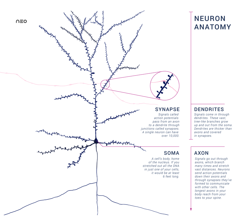 Anatomy of a Neuron with Synapse