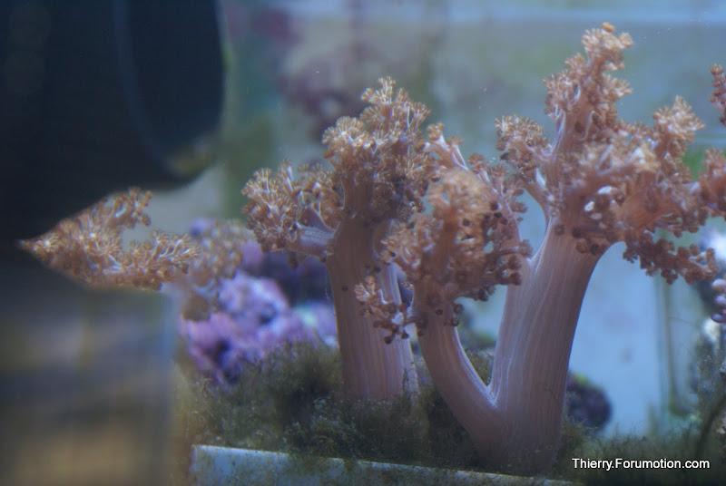 Capnella imbricata (Kenya Tree Coral) DSC04889