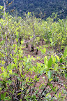 Coca Plantation in The Cloud Forest  (Manu National Park, Peru)