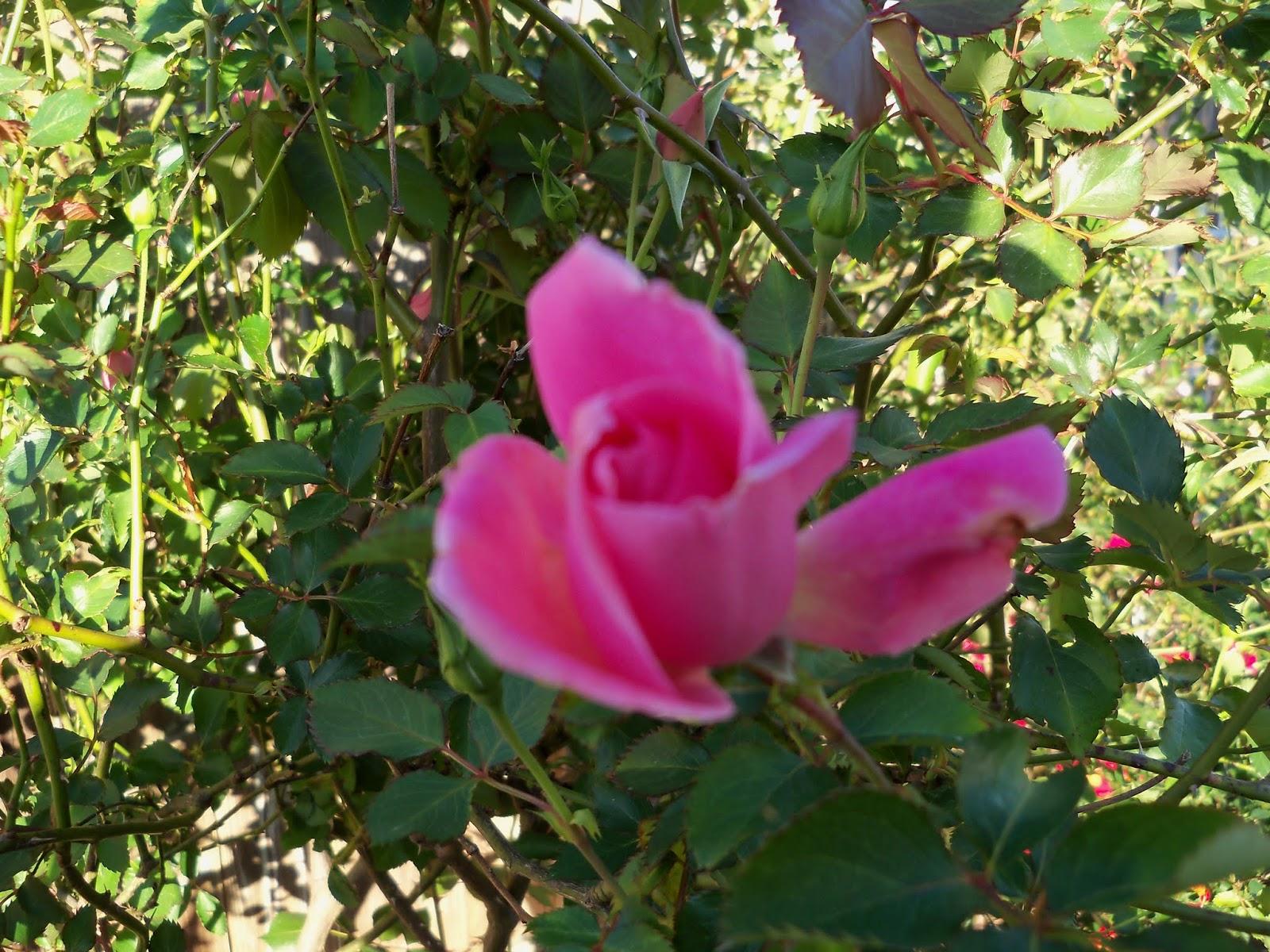 Gardening 2013 - 115_5397.JPG