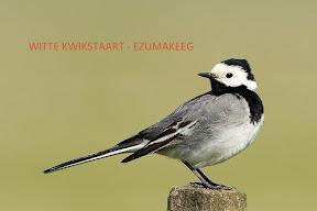 witte Kwikstaart - Ezumakeeg Lauwermeer (13).jpg