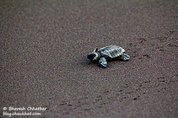 Newborn Olive Ridley sea turtle taking baby-steps