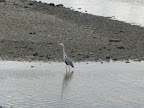 Heron Fishing in the Thames tug on Thames Apr 2012.jpg