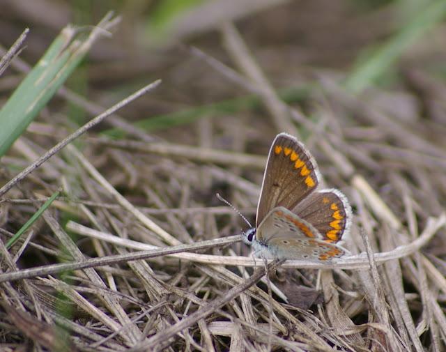 Aricia agestis DENIS & SCHIFFERMÜLLER, 1775, femelle. Les Hautes-Lisières (Rouvres, 28), 18 juin 2011. Photo : J.-M. Gayman