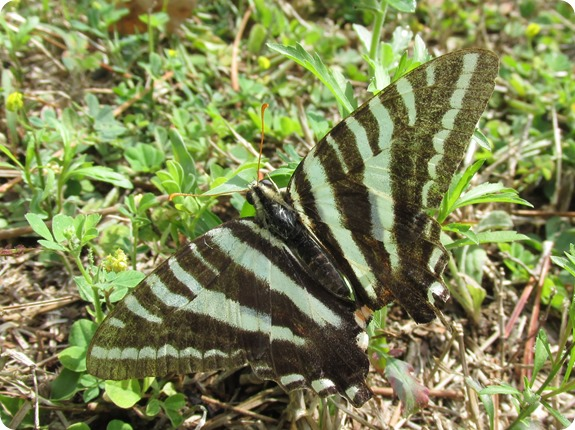 12 Van Fleet - Zebra Swallowtail Eurytides marcellus Butterfly