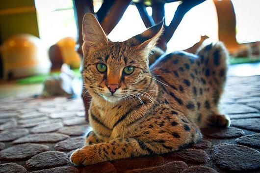 15-Кошки породы саванна