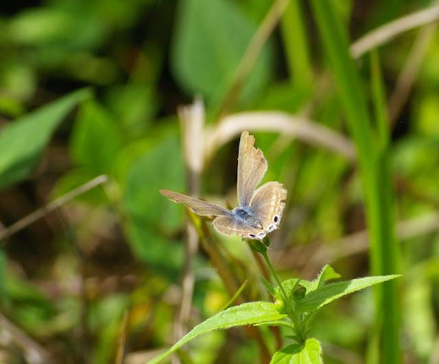 Jamides alecto C. FELDER, 1860, femelle. Lac Lashi (2500 m) à l'ouest de Lijiang, 16 août 2010. Photo : J.-M. Gayman