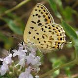Phoenicurusia margelanica STAUDINGER, 1881, femelle, Varzob (35 km nord de Dushanbe), 1505 m, 7.VII.2009, Tadjikistan. Photo : J.-F. Charmeux