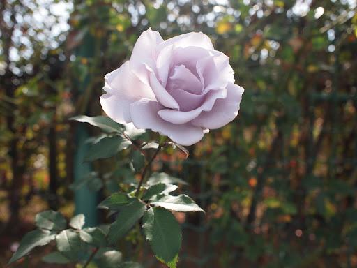 [写真]紫のバラ