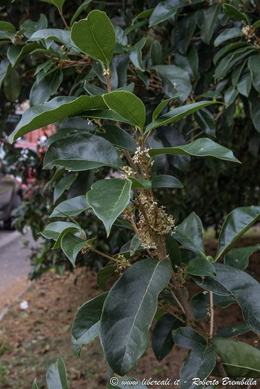 2018-09-16_Osmanthus-fragrans_Mandello_026