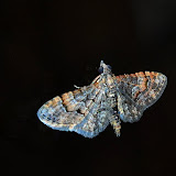 Geometridae : Larentiinae : Xanthorhoini : Visiana brujata GUÉNÉE, 1857. Umina Beach (New South Wales, Australie), 1er avril 2011. Photo : Barbara Kedzierski