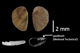 #k11 Tectonica miopusilla 4,2x3,0mm
