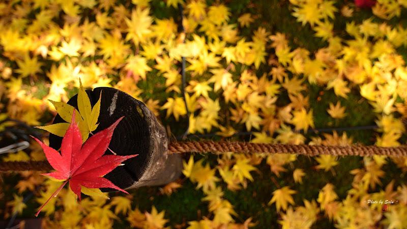 京都鹿王院楓葉ろくおういん