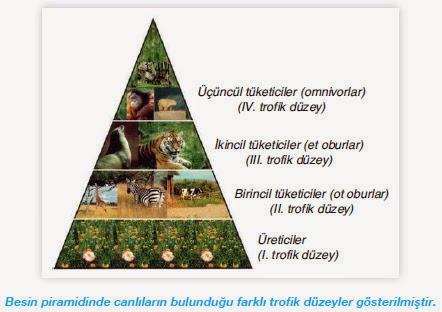 besin piramidi trofik düzeyler