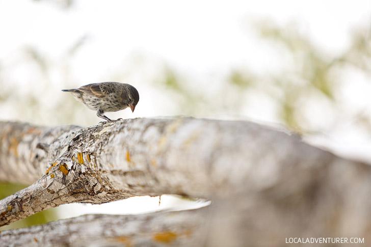 Darwins Finches.