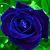 Blue Violet Rose
