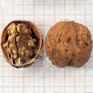 Кошицкий грецкий орех