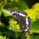 Limenitis camilla L., 1764. Les Hautes-Lisières (Rouvres, 28), 3 septembre 2011. Photo : J.-M. Gayman