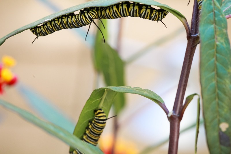 monarch butterfly life cycle-13