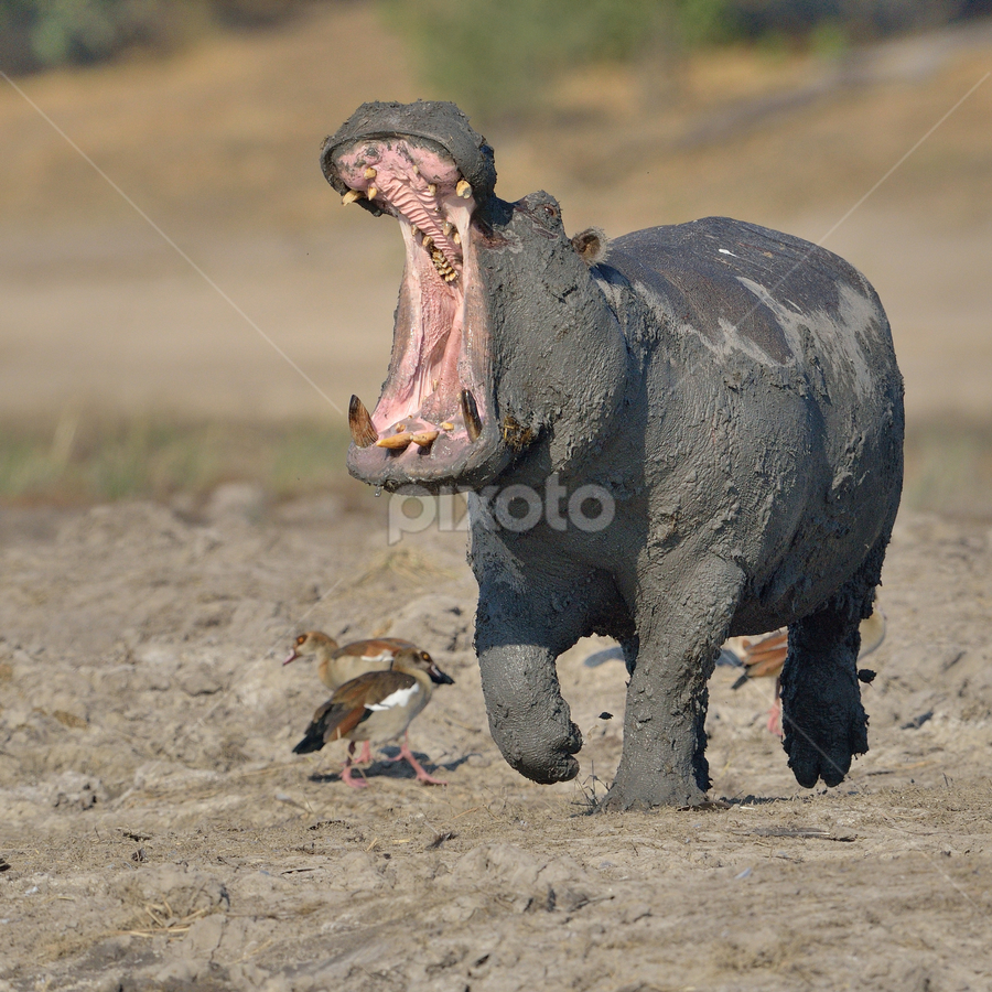 Angry Hippo by Neal Cooper - Animals Other Mammals ( hippo, hippopptamus, running, yawn )
