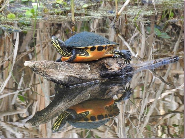 turtleDSCN1671