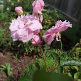 Gardening 2010 - 101_1631.JPG