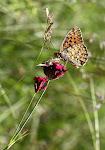 Klitperlemorsommerfugl, Argynnis niobe f. eris.jpg