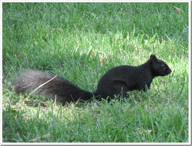 2018-09-16 Kansas, Marysville - Black Squirrel Mammal (2)