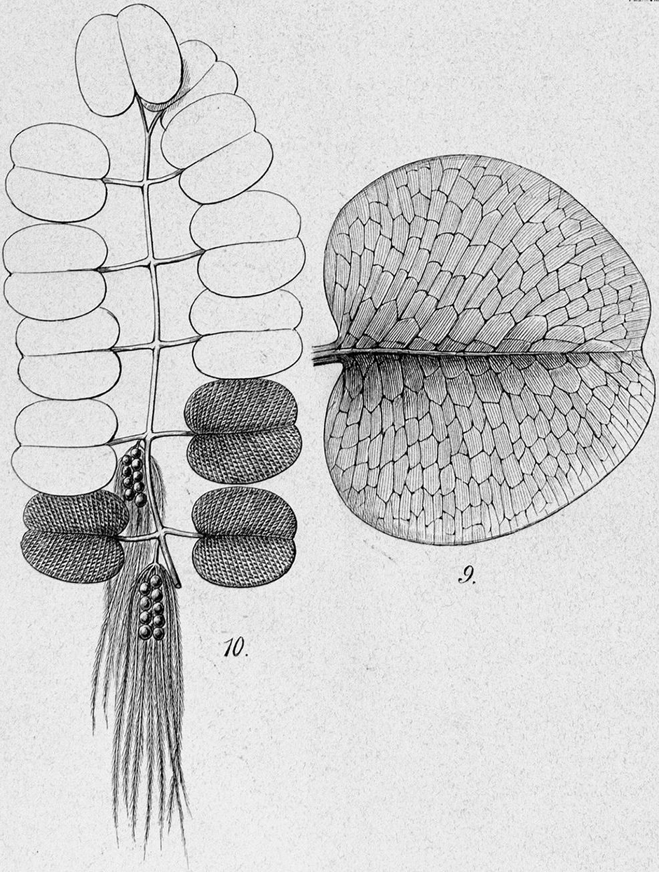 Сальвиния ушастая (Salvinia auriculata)