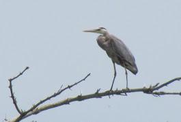 Heron Colony at Libby Hill-006.JPG